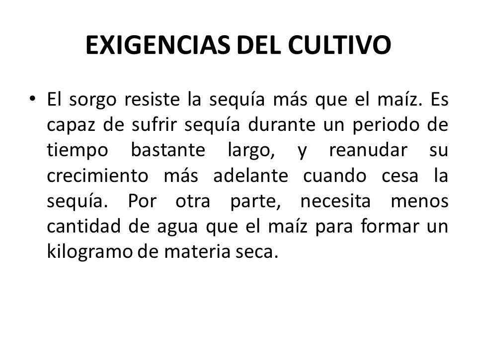 EXIGENCIAS DEL CULTIVO El sorgo resiste la sequía más que el maíz.