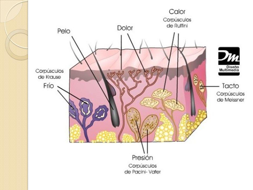 Terminaciones nerviosas libres Están en casi todo el cuerpo, sólo son dendritas que se ramifican entre las células epiteliales.