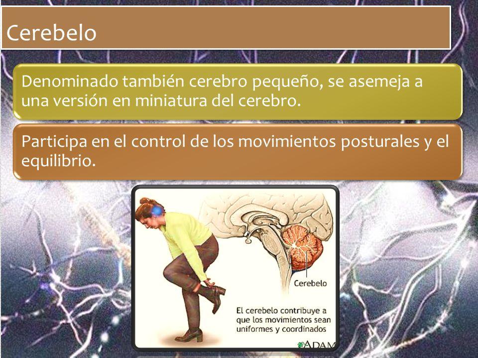 Cerebelo Denominado también cerebro pequeño, se asemeja a una versión en miniatura del cerebro. Participa en el control de los movimientos posturales