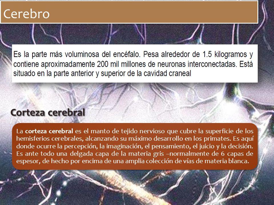 Cerebro Corteza cerebral La corteza cerebral es el manto de tejido nervioso que cubre la superficie de los hemisferios cerebrales, alcanzando su máxim