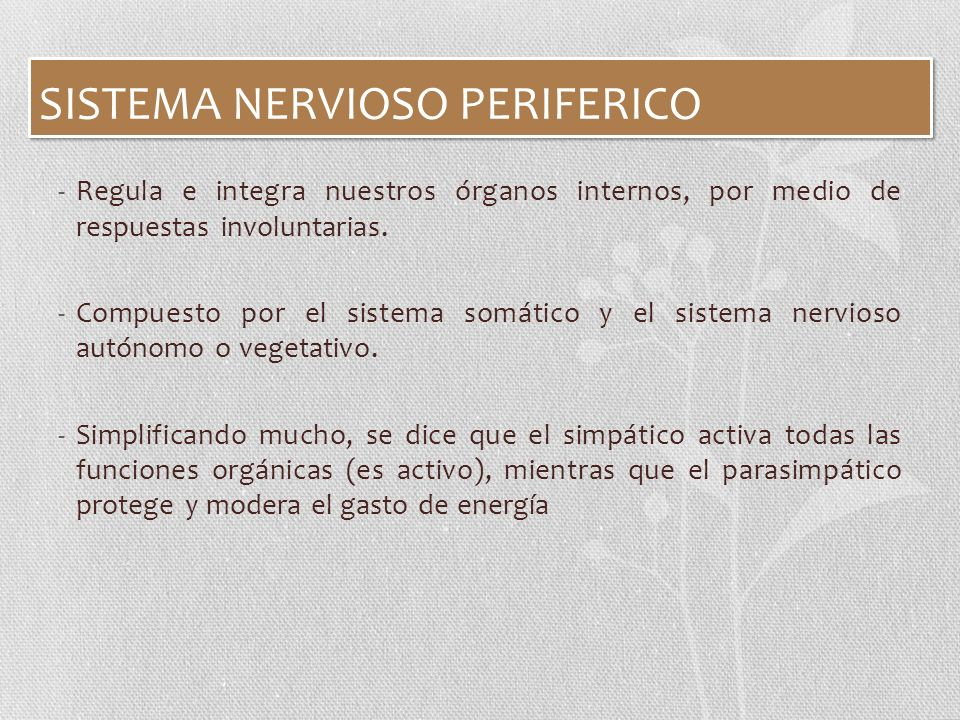 SISTEMA NERVIOSO PERIFERICO -Regula e integra nuestros órganos internos, por medio de respuestas involuntarias. -Compuesto por el sistema somático y e