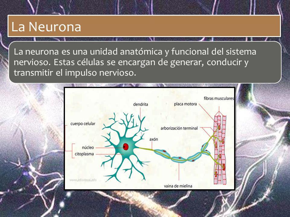 La Neurona La neurona es una unidad anatómica y funcional del sistema nervioso. Estas células se encargan de generar, conducir y transmitir el impulso
