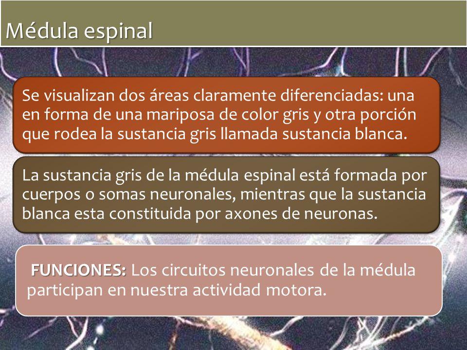 Médula espinal Se visualizan dos áreas claramente diferenciadas: una en forma de una mariposa de color gris y otra porción que rodea la sustancia gris