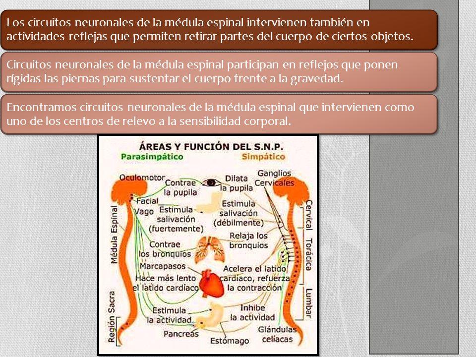 Los circuitos neuronales de la médula espinal intervienen también en actividades reflejas que permiten retirar partes del cuerpo de ciertos objetos. C