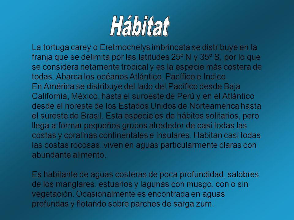La tortuga carey o Eretmochelys imbrincata se distribuye en la franja que se delimita por las latitudes 25º N y 35º S, por lo que se considera netamen