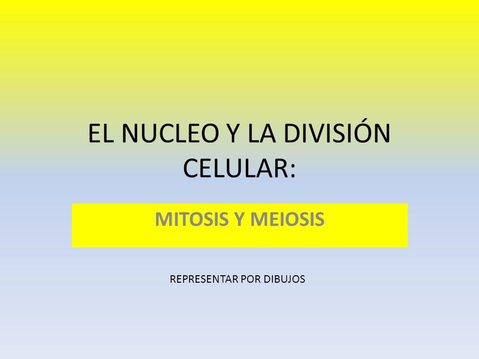 EL NUCLEO Y LA DIVISIÓN CELULAR: MITOSIS Y MEIOSIS REPRESENTAR POR DIBUJOS