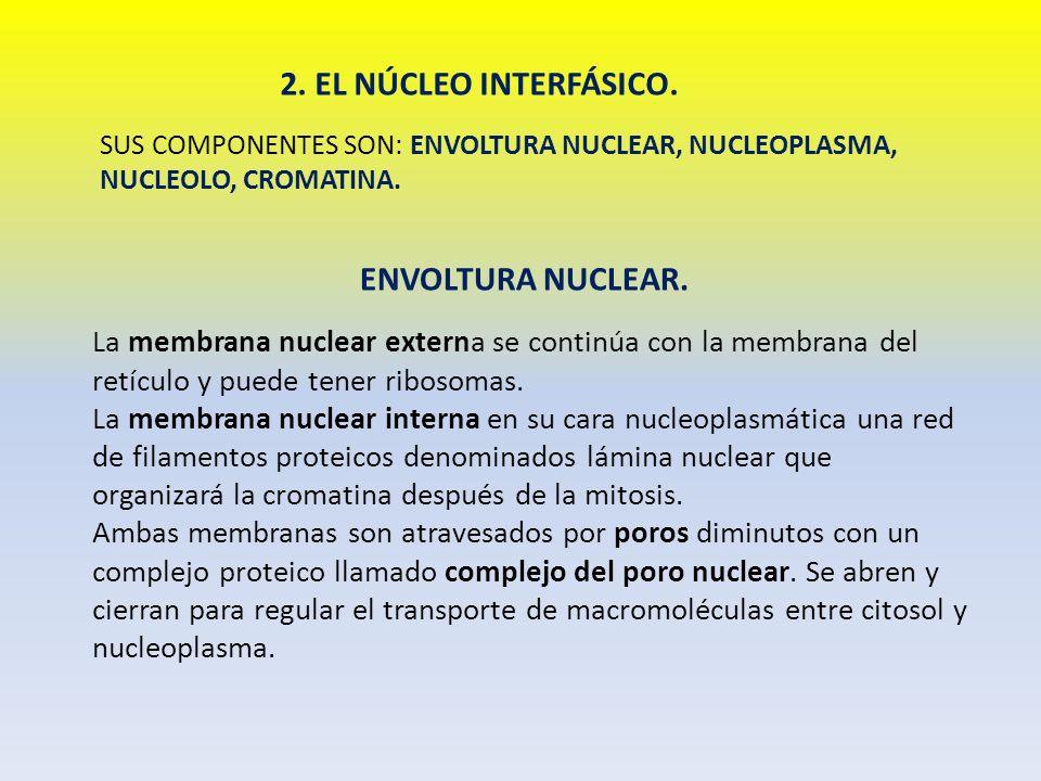 2. EL NÚCLEO INTERFÁSICO. SUS COMPONENTES SON: ENVOLTURA NUCLEAR, NUCLEOPLASMA, NUCLEOLO, CROMATINA. ENVOLTURA NUCLEAR. La membrana nuclear externa se
