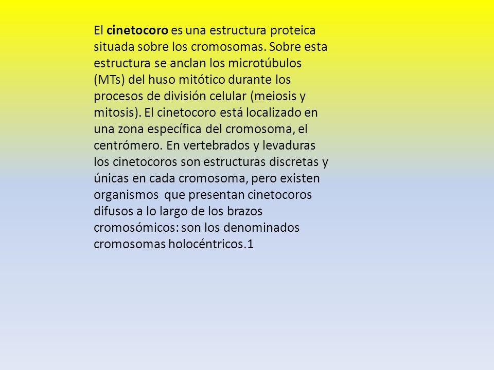 El cinetocoro es una estructura proteica situada sobre los cromosomas. Sobre esta estructura se anclan los microtúbulos (MTs) del huso mitótico durant