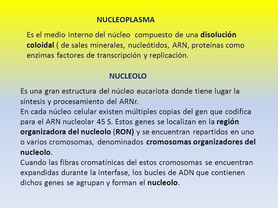 NUCLEOPLASMA Es el medio interno del núcleo compuesto de una disolución coloidal ( de sales minerales, nucleótidos, ARN, proteínas como enzimas factor