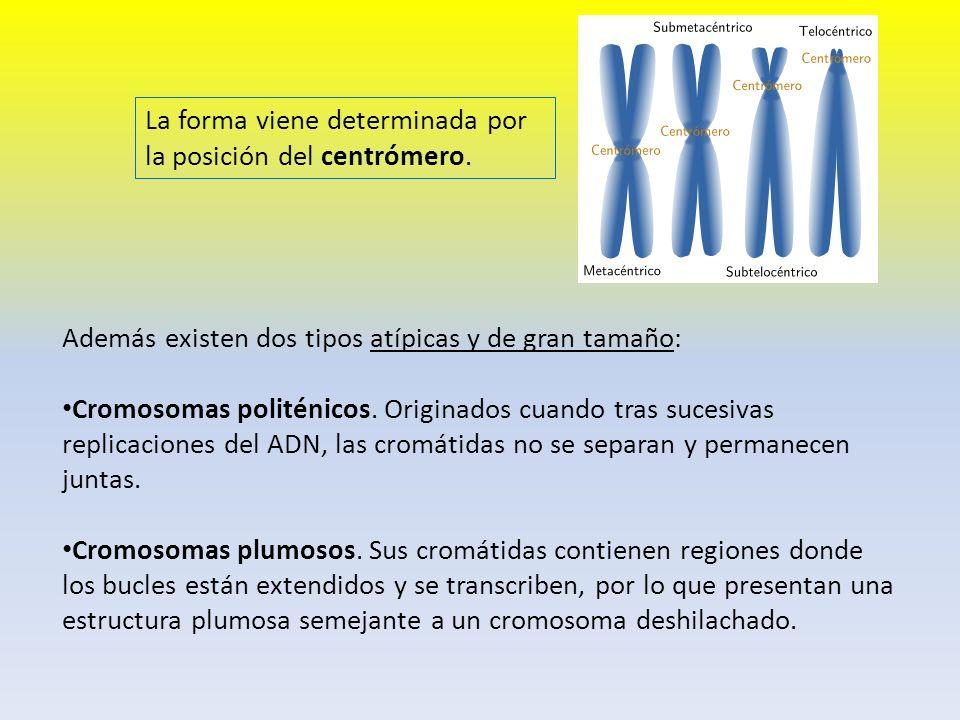 Además existen dos tipos atípicas y de gran tamaño: Cromosomas politénicos. Originados cuando tras sucesivas replicaciones del ADN, las cromátidas no