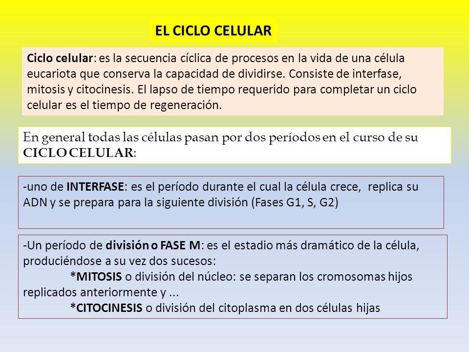 EL CICLO CELULAR Ciclo celular: es la secuencia cíclica de procesos en la vida de una célula eucariota que conserva la capacidad de dividirse. Consist