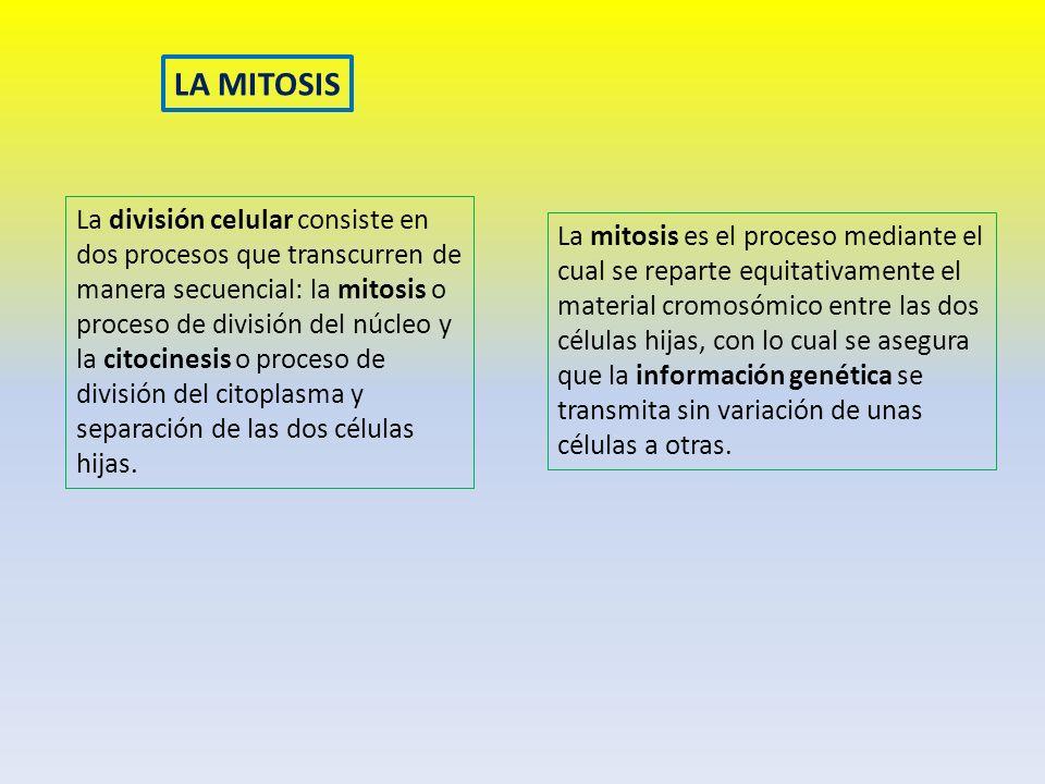 LA MITOSIS La división celular consiste en dos procesos que transcurren de manera secuencial: la mitosis o proceso de división del núcleo y la citocin