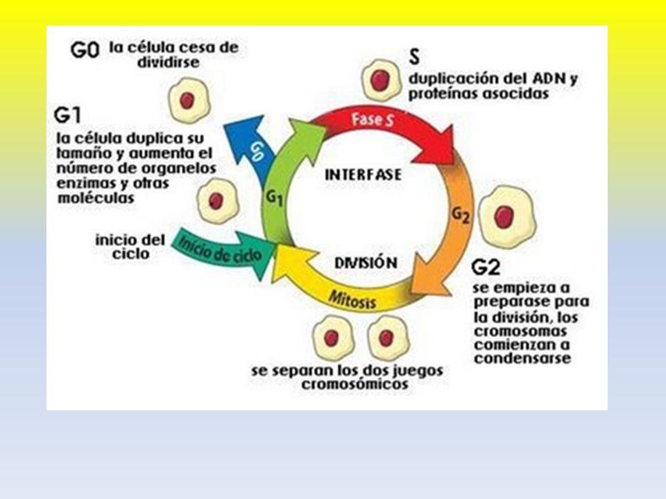 CROMATINA Es la unión del ADN con proteínas.