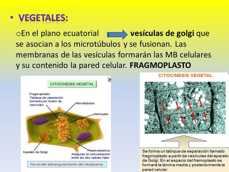 o En el plano ecuatorialvesículas de golgi que se asocian a los microtúbulos y se fusionan. Las membranas de las vesículas formarán las MB celulares y