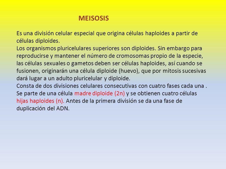 MEISOSIS Es una división celular especial que origina células haploides a partir de células diploides. Los organismos pluricelulares superiores son di