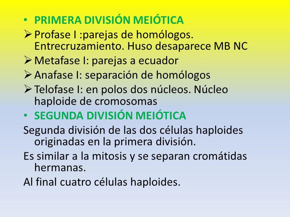 PRIMERA DIVISIÓN MEIÓTICA Profase I :parejas de homólogos. Entrecruzamiento. Huso desaparece MB NC Metafase I: parejas a ecuador Anafase I: separación