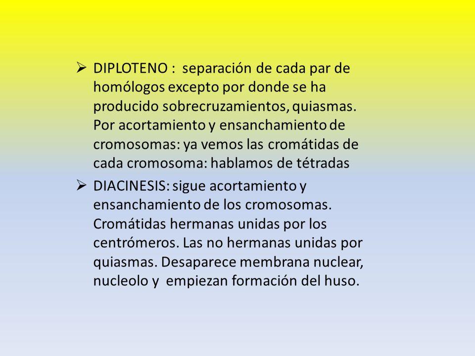 DIPLOTENO : separación de cada par de homólogos excepto por donde se ha producido sobrecruzamientos, quiasmas. Por acortamiento y ensanchamiento de cr