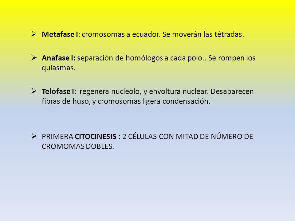 Metafase I: cromosomas a ecuador. Se moverán las tétradas. Anafase I: separación de homólogos a cada polo.. Se rompen los quiasmas. Telofase I: regene