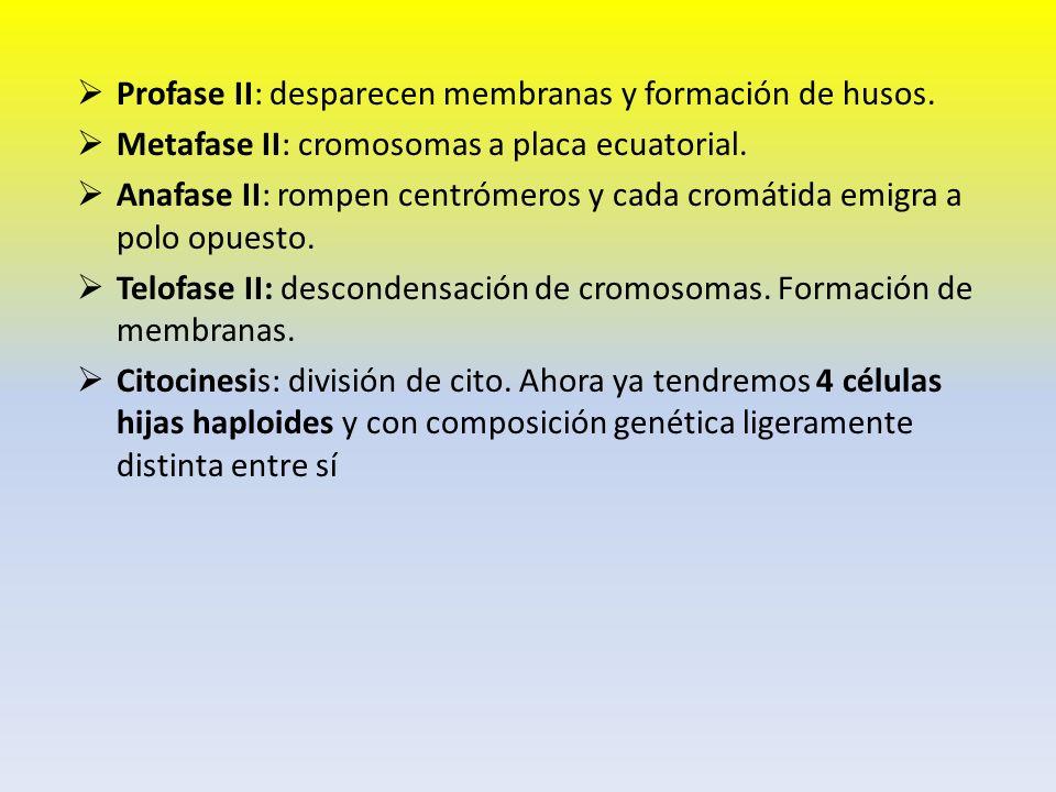 Profase II: desparecen membranas y formación de husos. Metafase II: cromosomas a placa ecuatorial. Anafase II: rompen centrómeros y cada cromátida emi