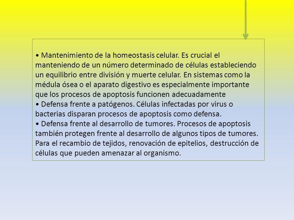 Metafase I: cromosomas a ecuador.Se moverán las tétradas.