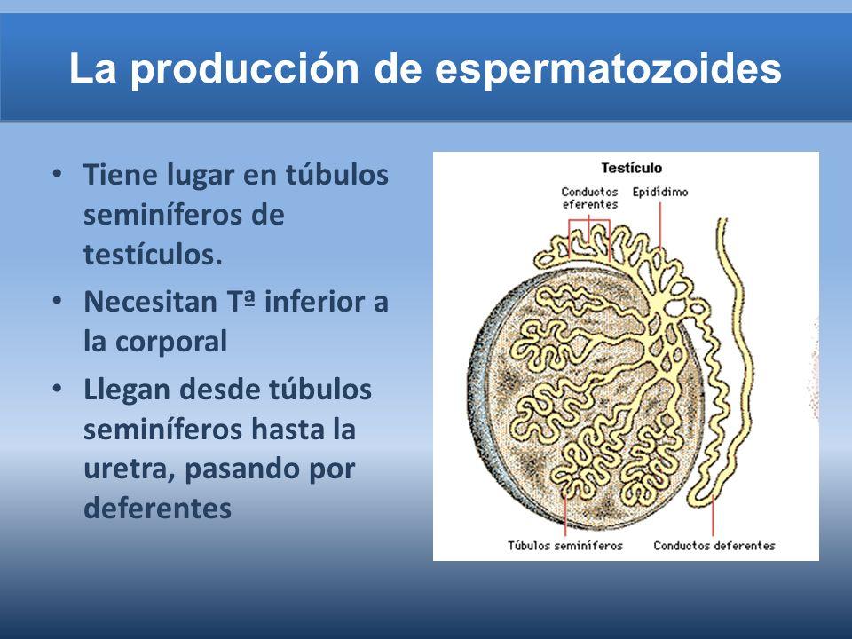 La producción de espermatozoides Tiene lugar en túbulos seminíferos de testículos. Necesitan Tª inferior a la corporal Llegan desde túbulos seminífero