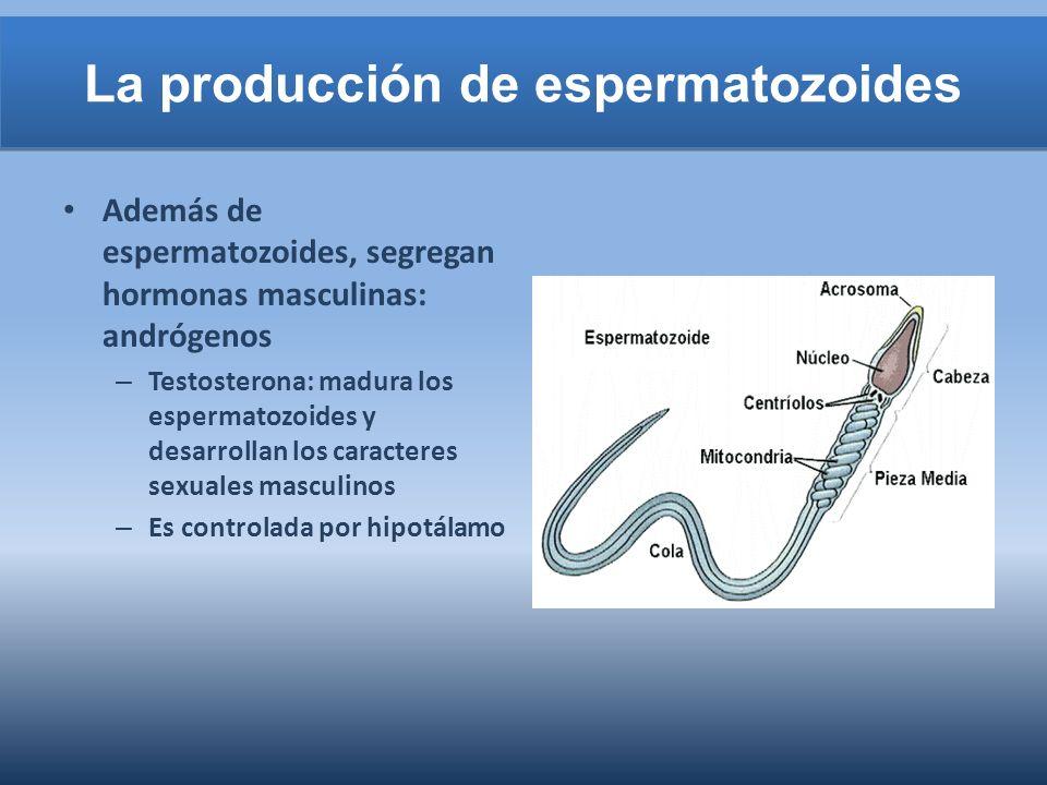 La producción de espermatozoides Además de espermatozoides, segregan hormonas masculinas: andrógenos – Testosterona: madura los espermatozoides y desa