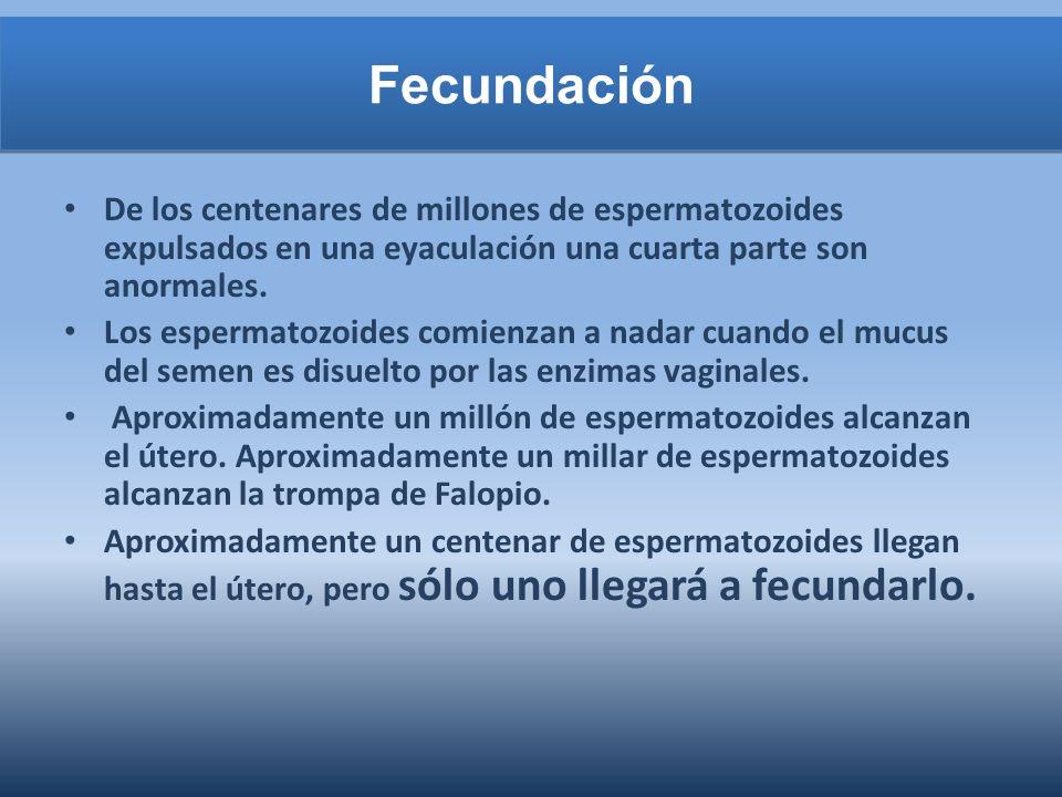 Fecundación De los centenares de millones de espermatozoides expulsados en una eyaculación una cuarta parte son anormales. Los espermatozoides comienz