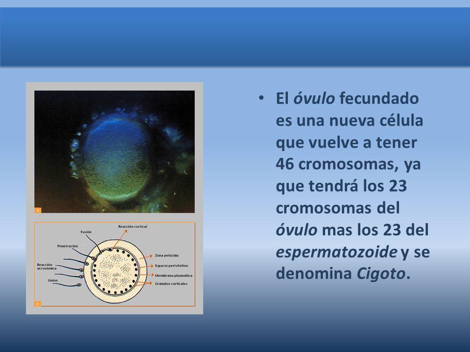 El óvulo fecundado es una nueva célula que vuelve a tener 46 cromosomas, ya que tendrá los 23 cromosomas del óvulo mas los 23 del espermatozoide y se