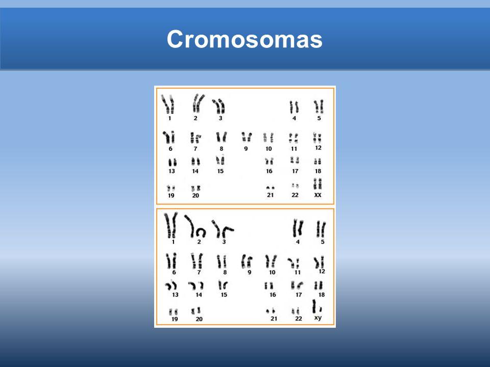 La producción de espermatozoides Además de espermatozoides, segregan hormonas masculinas: andrógenos – Testosterona: madura los espermatozoides y desarrollan los caracteres sexuales masculinos – Es controlada por hipotálamo