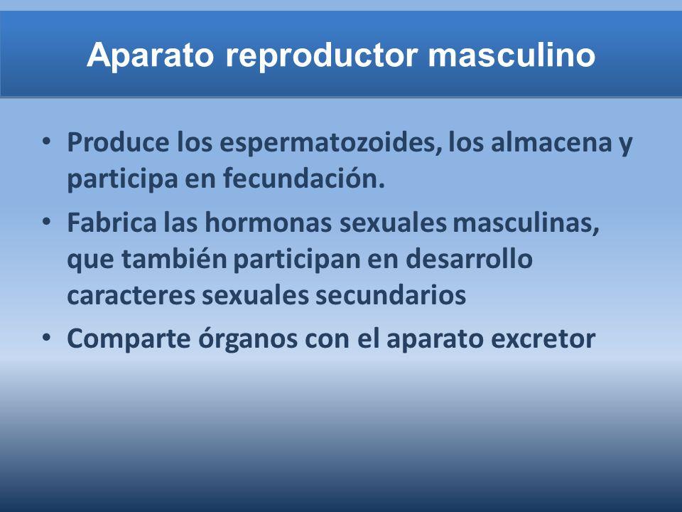 Aparato reproductor masculino Produce los espermatozoides, los almacena y participa en fecundación. Fabrica las hormonas sexuales masculinas, que tamb