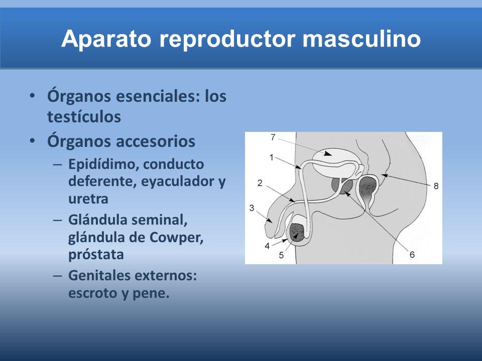 Aparato reproductor masculino Órganos esenciales: los testículos Órganos accesorios – Epidídimo, conducto deferente, eyaculador y uretra – Glándula se