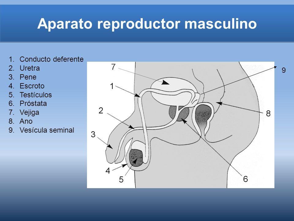 Aparato reproductor masculino 1.Conducto deferente 2.Uretra 3.Pene 4.Escroto 5.Testículos 6.Próstata 7.Vejiga 8.Ano 9.Vesícula seminal 9