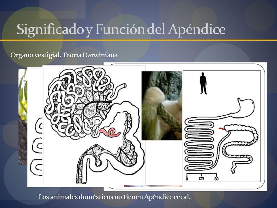 Significado y Función del Apéndice Organo vestigial. Teoría Darwiniana Los animales domésticos no tienen Apéndice cecal.