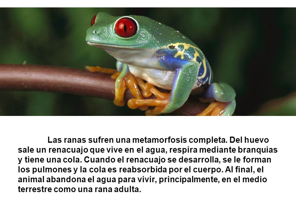 Las ranas sufren una metamorfosis completa. Del huevo sale un renacuajo que vive en el agua, respira mediante branquias y tiene una cola. Cuando el re