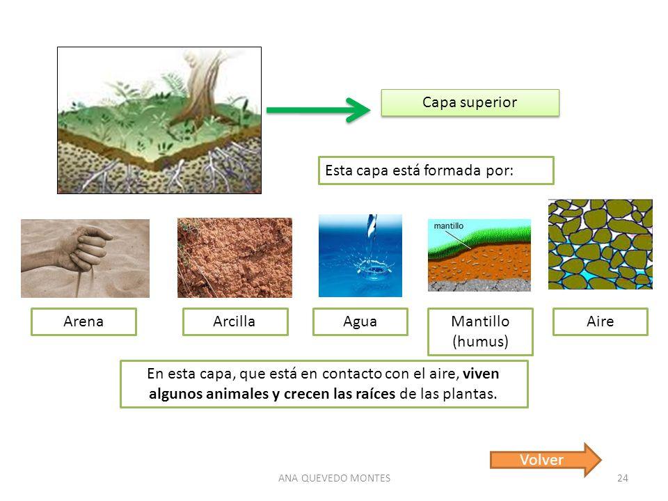 ANA QUEVEDO MONTES24 Capa superior Esta capa está formada por: ArenaArcillaAguaMantillo (humus) En esta capa, que está en contacto con el aire, viven