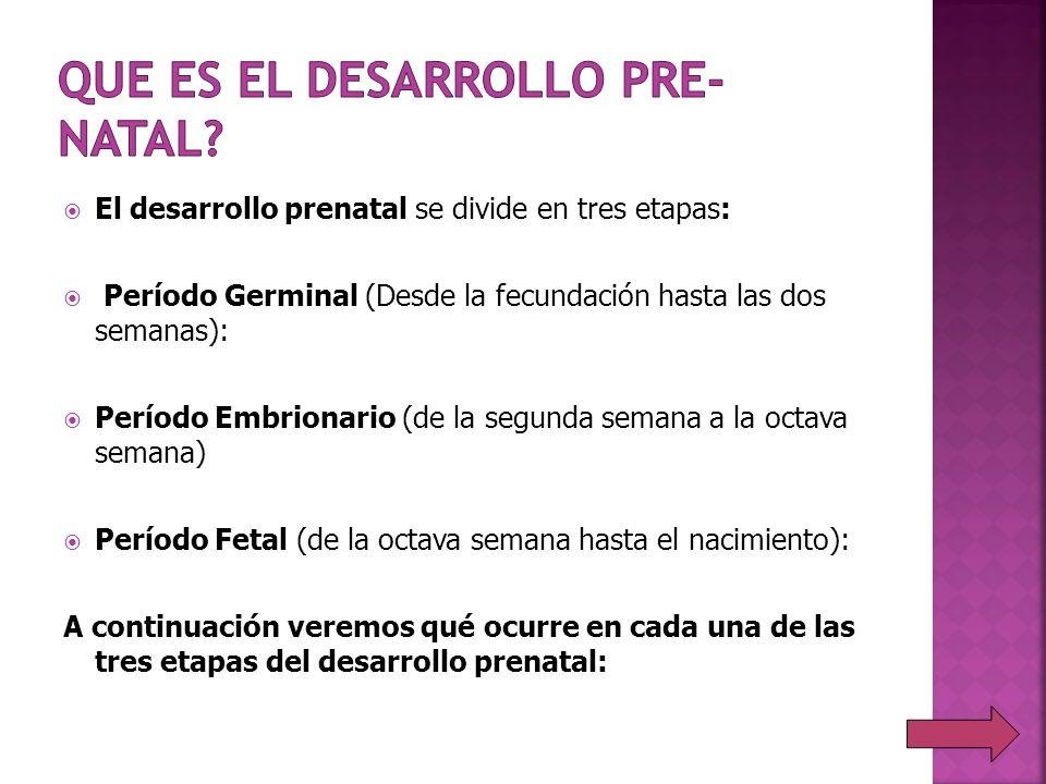 El desarrollo prenatal se divide en tres etapas: Período Germinal (Desde la fecundación hasta las dos semanas): Período Embrionario (de la segunda sem