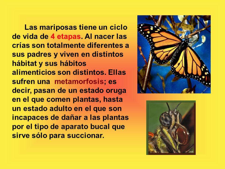 Las mariposas tiene un ciclo de vida de 4 etapas.