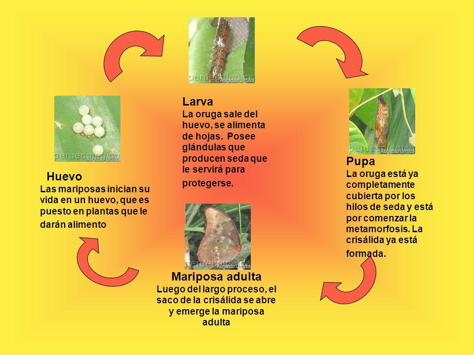 Huevo Las mariposas inician su vida en un huevo, que es puesto en plantas que le darán alimento Larva La oruga sale del huevo, se alimenta de hojas.