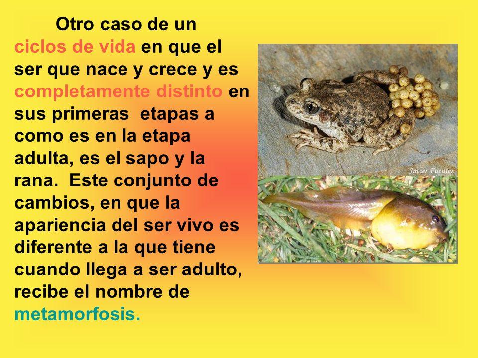 Otro caso de un ciclos de vida en que el ser que nace y crece y es completamente distinto en sus primeras etapas a como es en la etapa adulta, es el sapo y la rana.