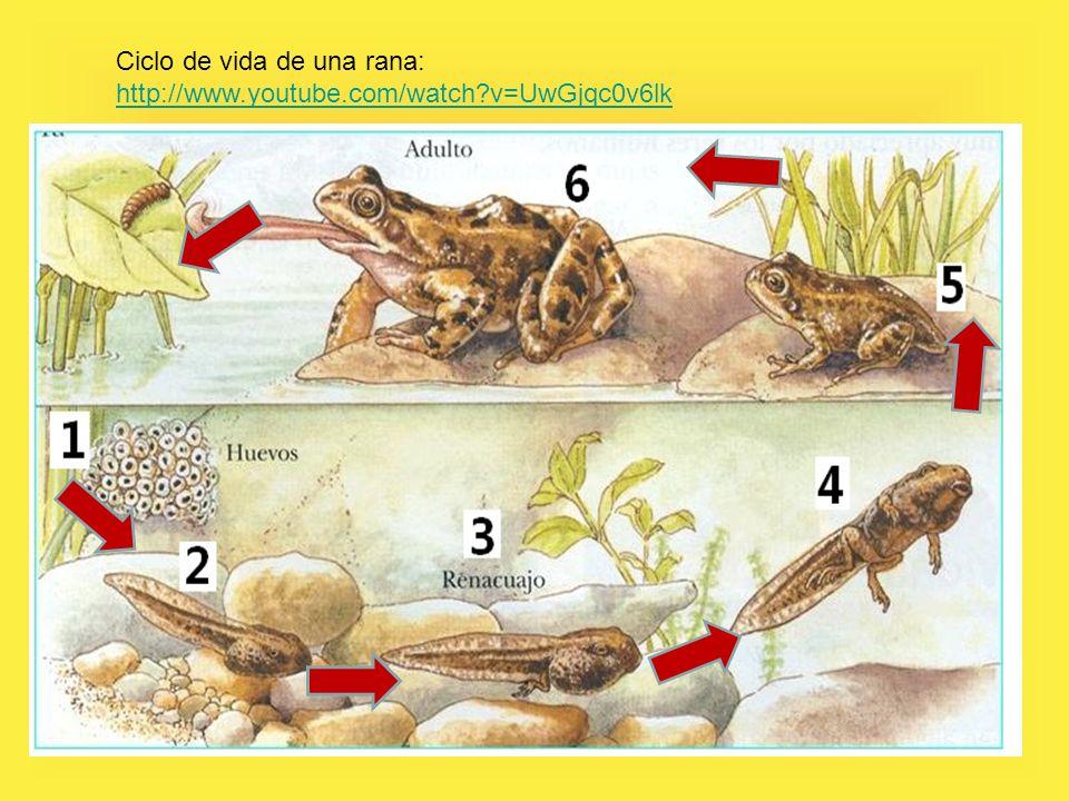 Ciclo de vida de una rana: http://www.youtube.com/watch?v=UwGjqc0v6lk http://www.youtube.com/watch?v=UwGjqc0v6lk