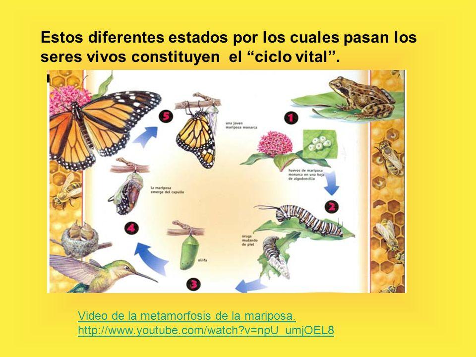 Estos diferentes estados por los cuales pasan los seres vivos constituyen el ciclo vital.
