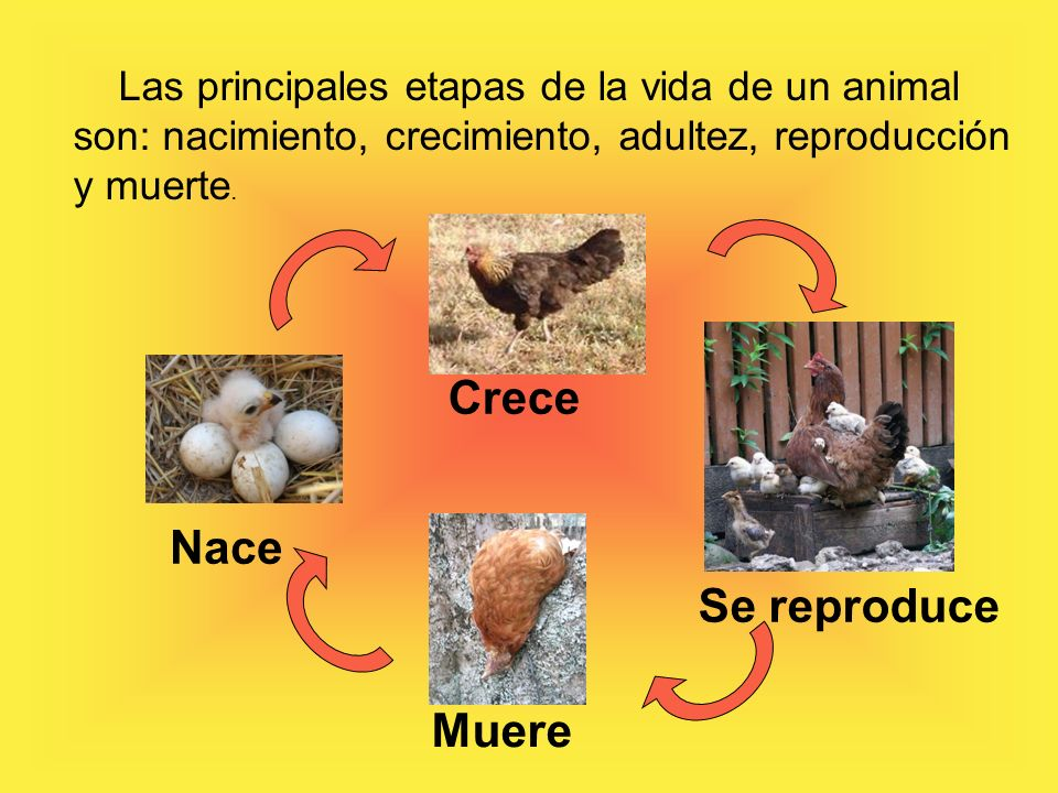 Las principales etapas de la vida de un animal son nacimiento