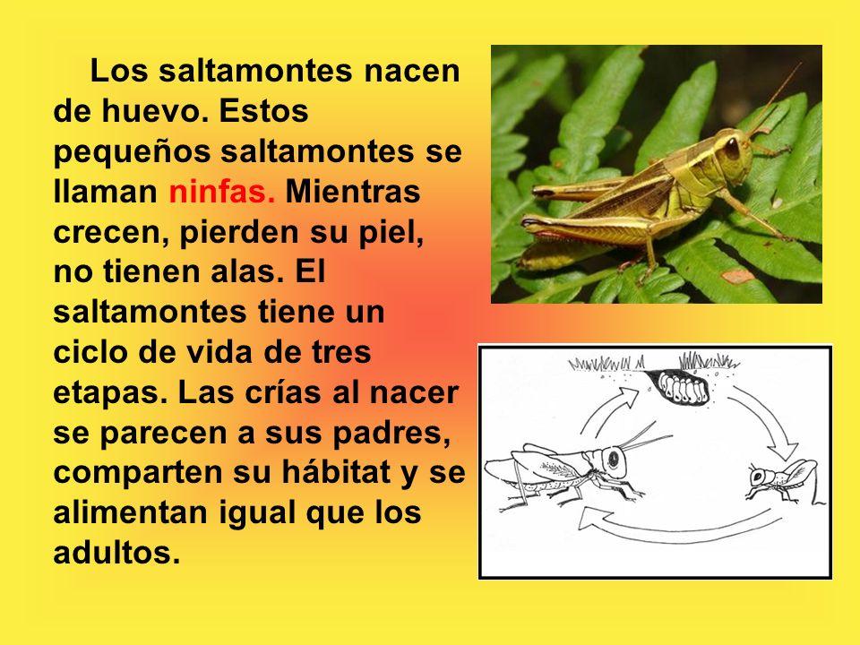 Los saltamontes nacen de huevo.Estos pequeños saltamontes se llaman ninfas.