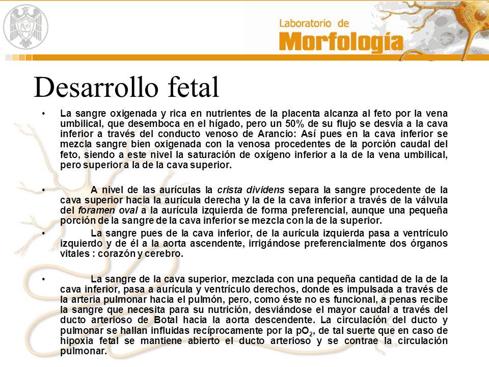 Desarrollo fetal La sangre oxigenada y rica en nutrientes de la placenta alcanza al feto por la vena umbilical, que desemboca en el hígado, pero un 50