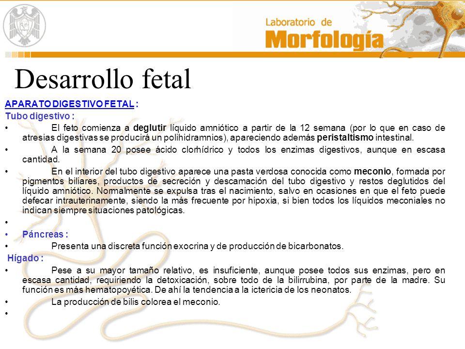 Desarrollo fetal APARATO DIGESTIVO FETAL : Tubo digestivo : El feto comienza a deglutir líquido amniótico a partir de la 12 semana (por lo que en caso