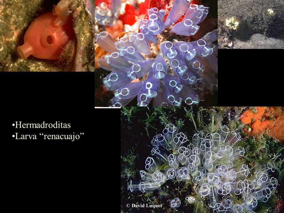 Hermadroditas Larva renacuajo