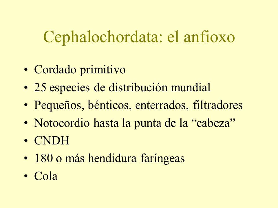 Cephalochordata: el anfioxo Cordado primitivo 25 especies de distribución mundial Pequeños, bénticos, enterrados, filtradores Notocordio hasta la punt