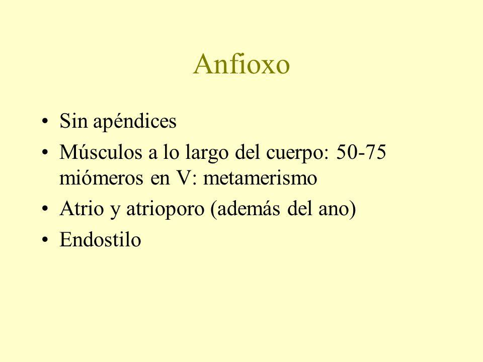 Anfioxo Sin apéndices Músculos a lo largo del cuerpo: 50-75 miómeros en V: metamerismo Atrio y atrioporo (además del ano) Endostilo