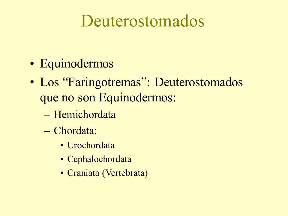 Deuterostomados Equinodermos Los Faringotremas: Deuterostomados que no son Equinodermos: –Hemichordata –Chordata: Urochordata Cephalochordata Craniata