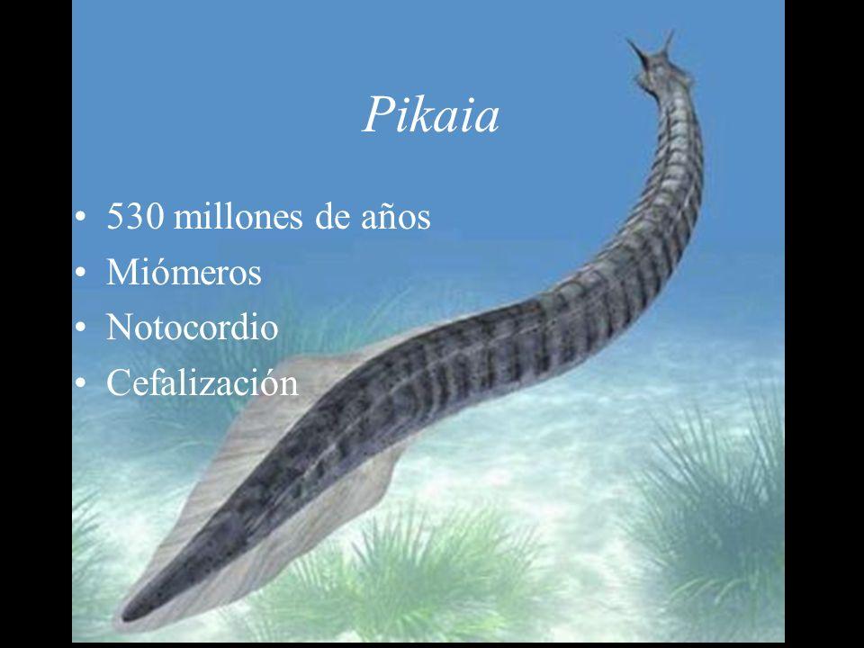 Pikaia 530 millones de años Miómeros Notocordio Cefalización
